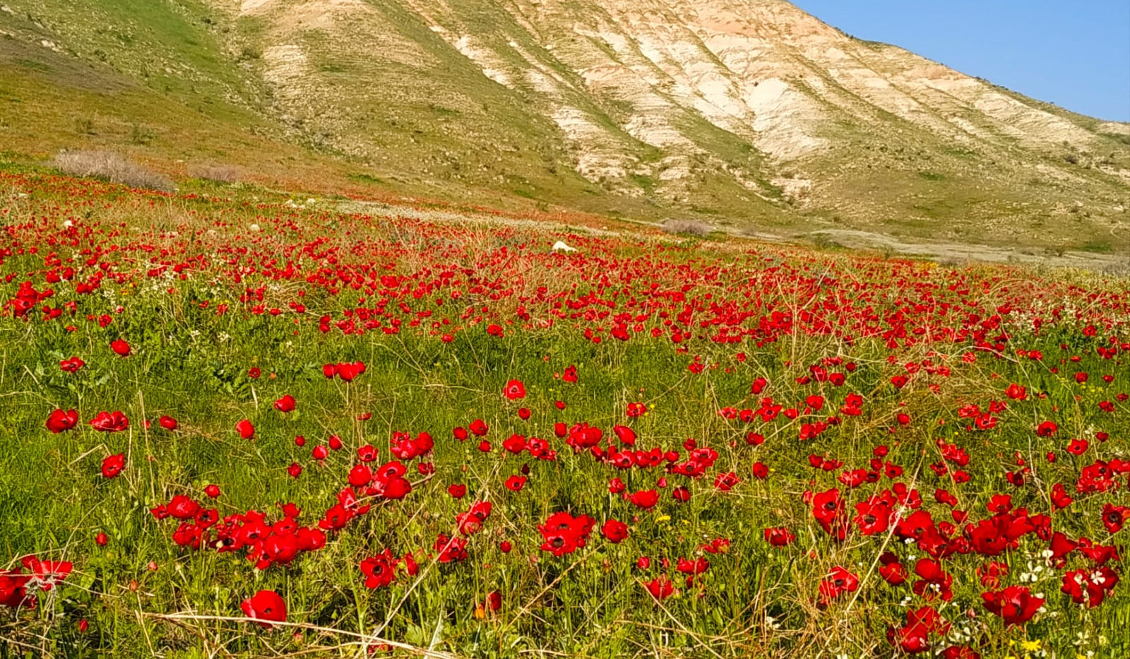 Buttercup in the Jorden Valley