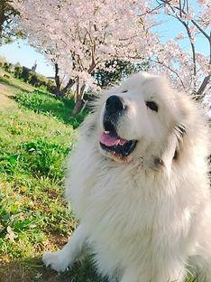 エネドッグパークの看板犬、ハッピーと桜並木です。