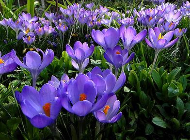 Spring crocuses 2.jpg