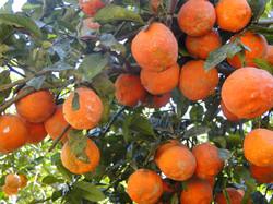 Limão cravo (caipira)