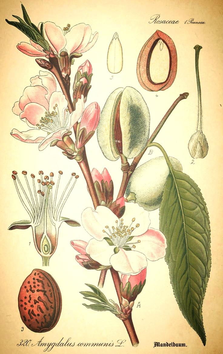 Prunus-Dulcis_edited