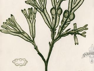 El alga que ha revolucionado la cosmética.