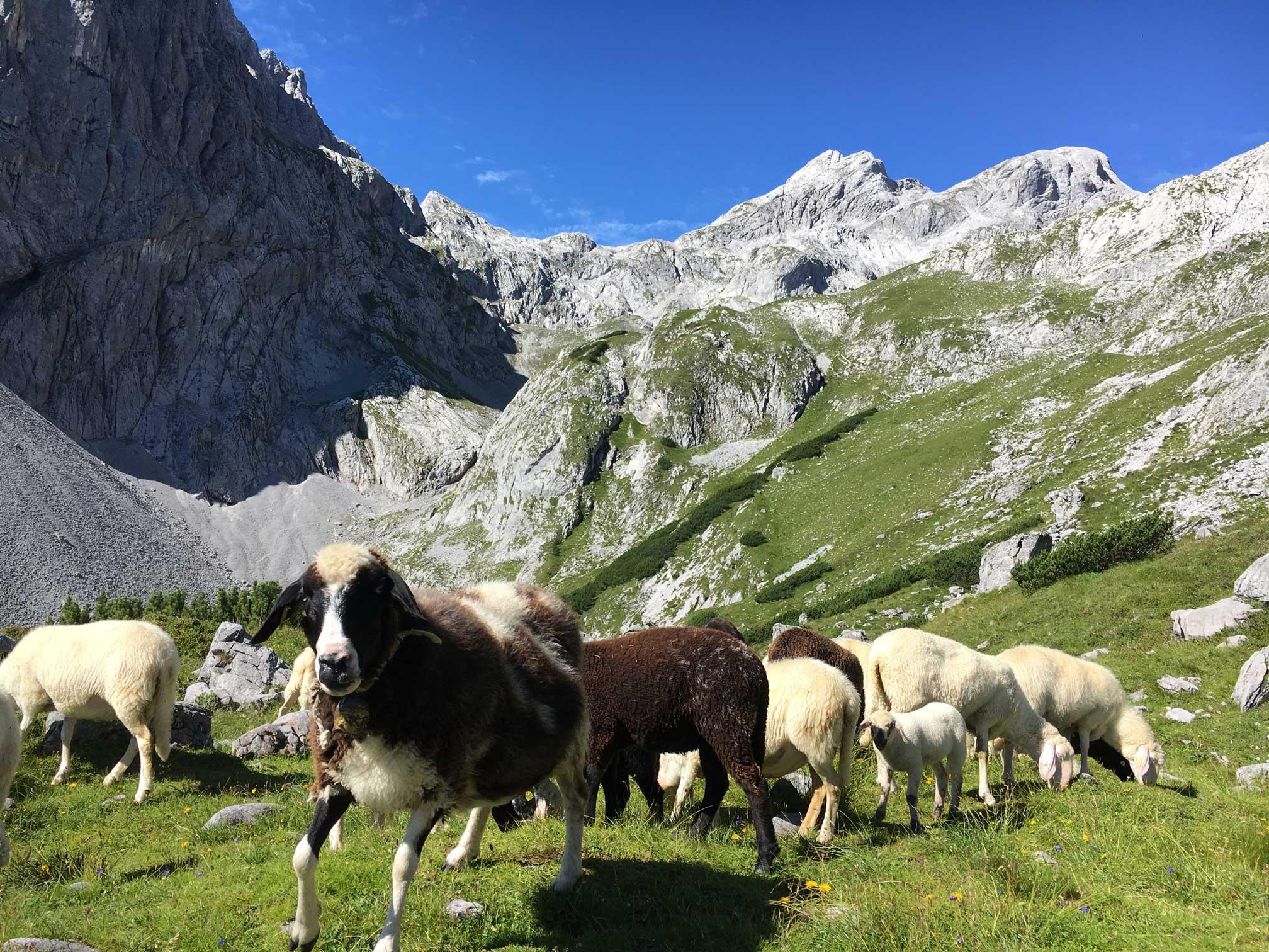 Königssee-Hochkönig-Schafe