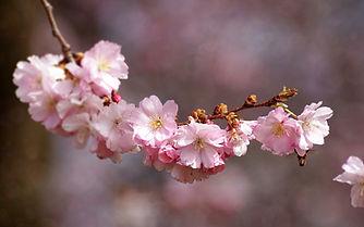 cherry-blossom-3285200_1920.jpg