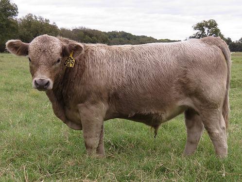 029 Bull (7 months).jpg
