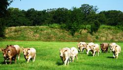 Grass Fed Beef - Murray Grey Steers