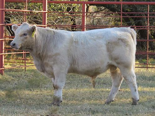 829 Bull (7.5 months).jpg