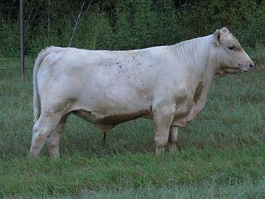 017 Bull (6.5 months).jpg