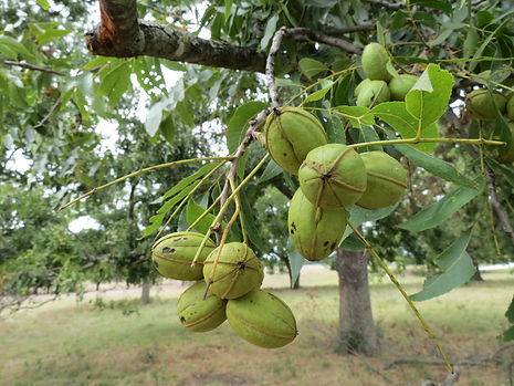 Backbone Ranch Native Pecans North Texas