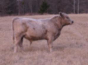 827 Bull (9.5 months).jpg