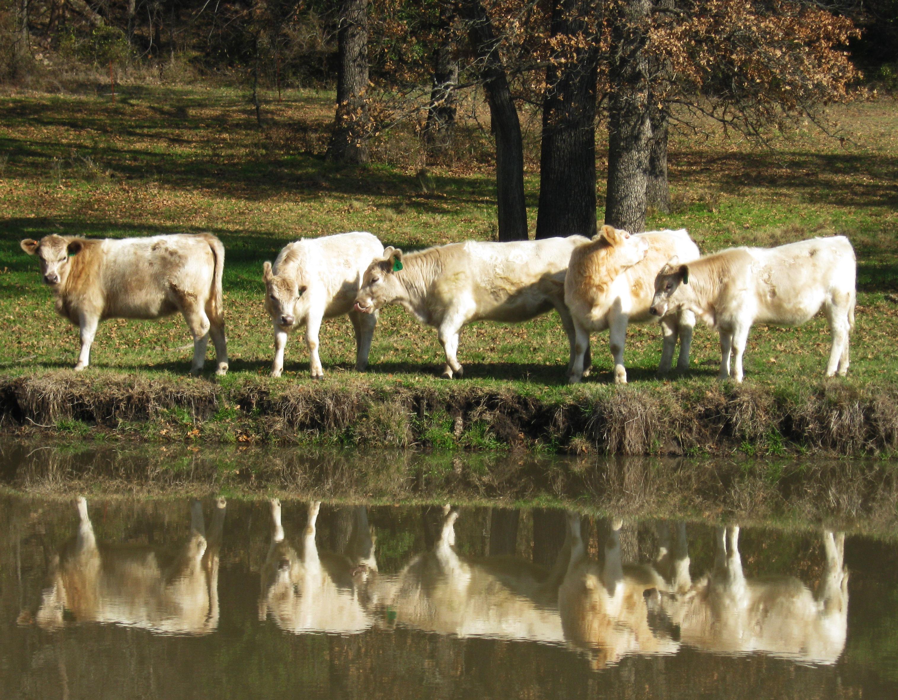 Murray Grey Yearling Heifers