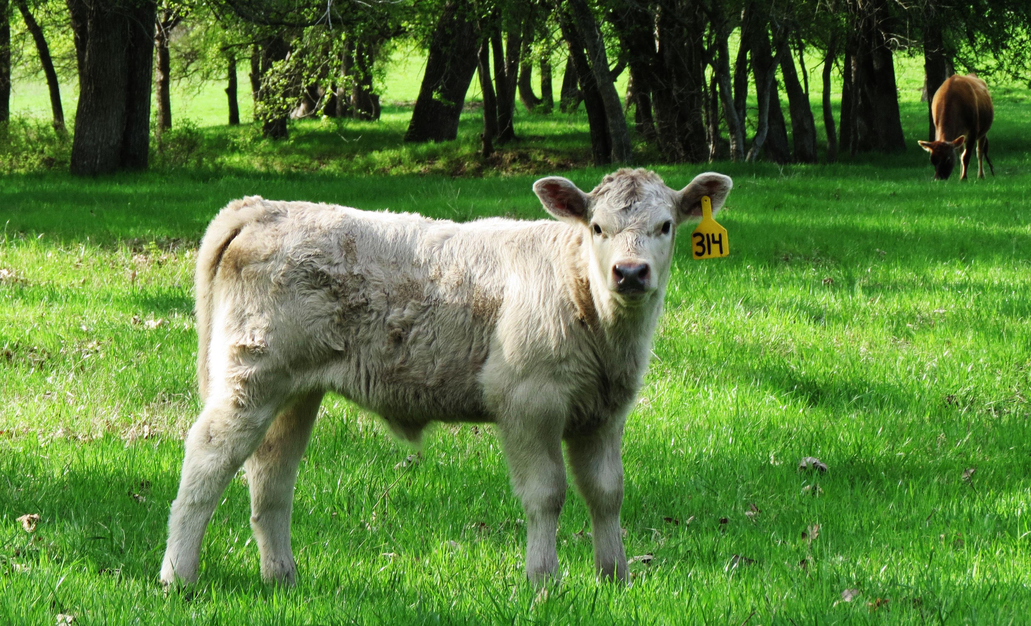 Murray Grey Heifer Calf