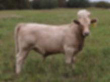 819 Bull (7 months).jpg