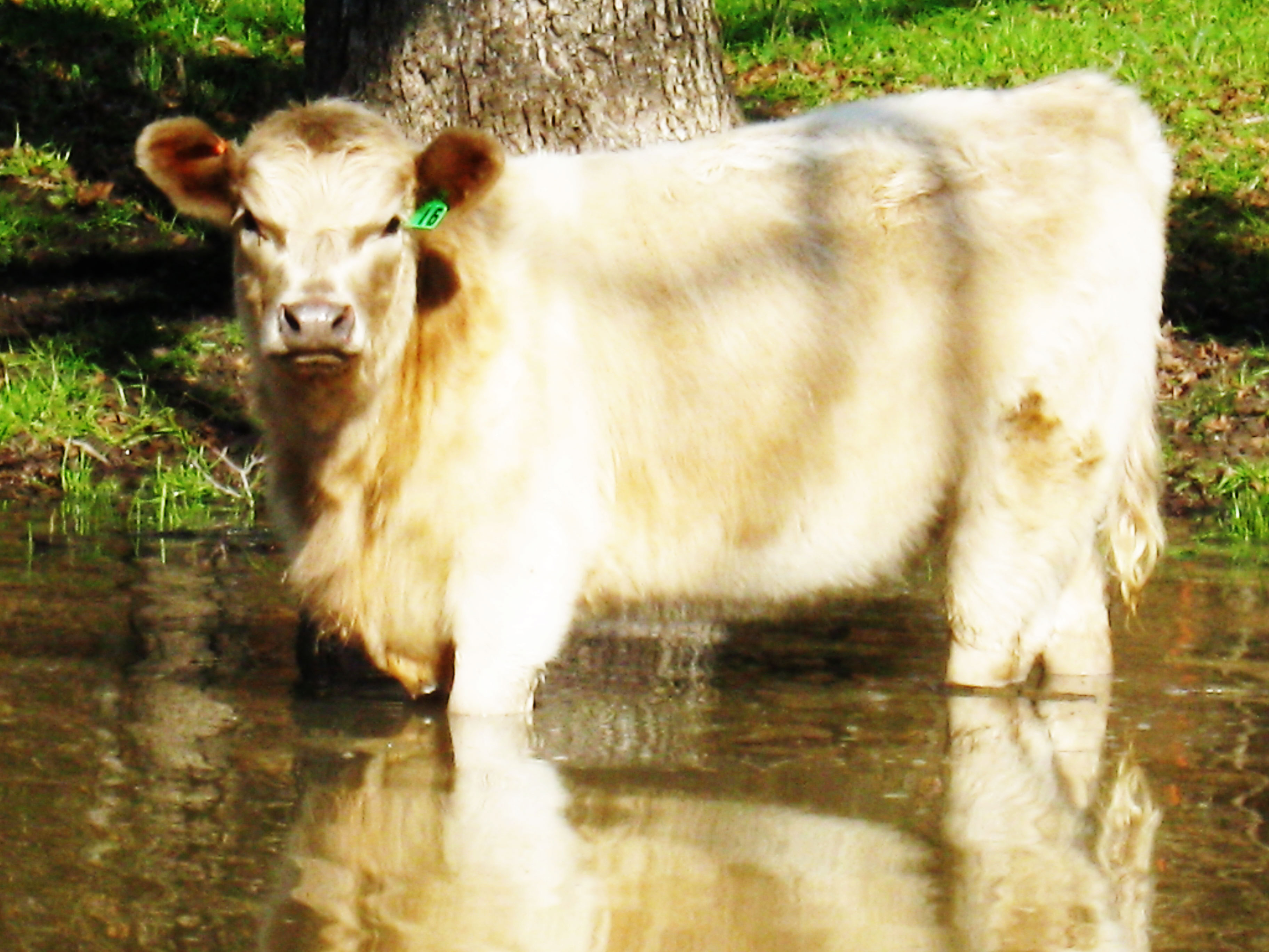 Murray Grey Yearling Heifer