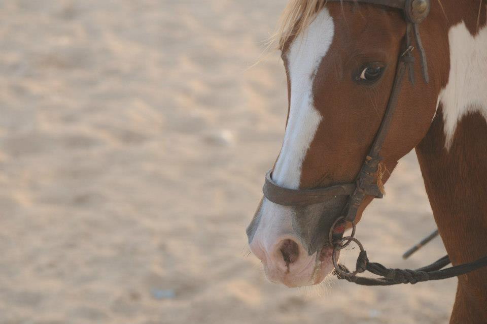 Horse at Pushkar Camel Fair India