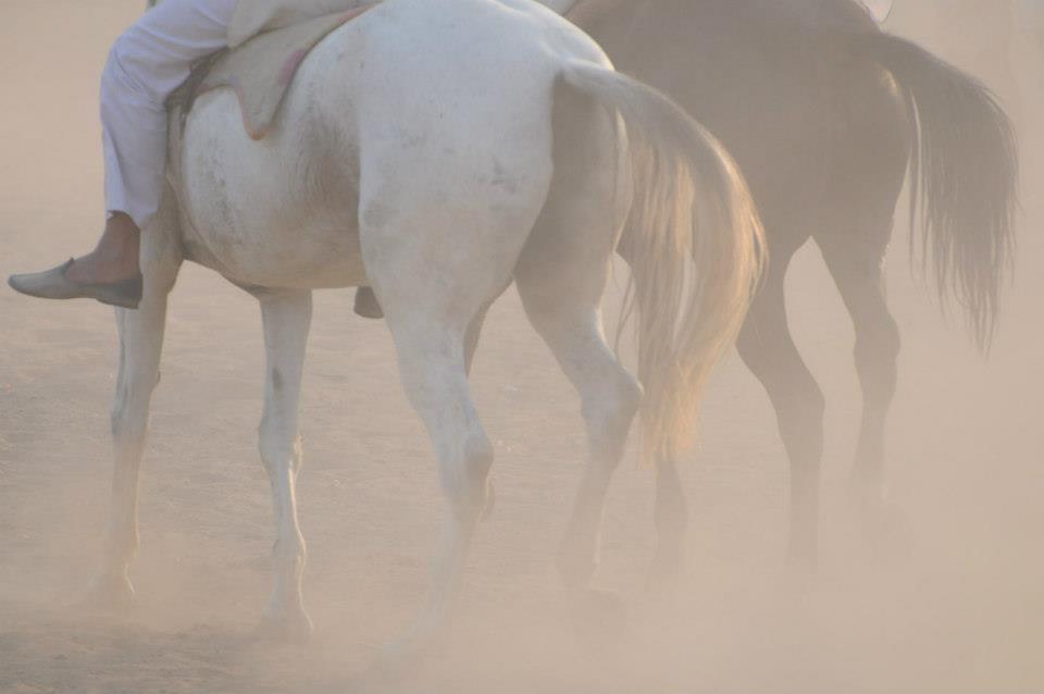 Horses at Pushkar Camel  Fair India