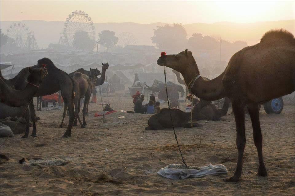 Camels at the Pushkar Camel Fair