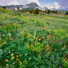 wildflower meadow_carson pass_eldorado n