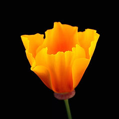California Poppy_Ring Mt Open Space Pres