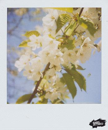 POLAROID PRINT Kirschblüten