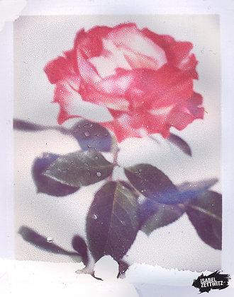 POLAROID PRINT Rose