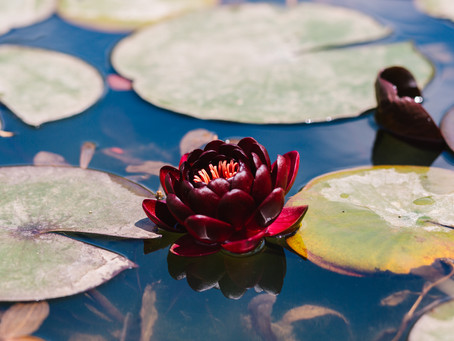 Ένας επίγειος παράδεισος με νούφαρα, λωτούς, ίριδες και 700 είδη φυτών στο Μαραθώνα!