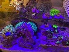 サンゴ画像.JPG