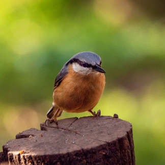 Alcester: Nuthatch