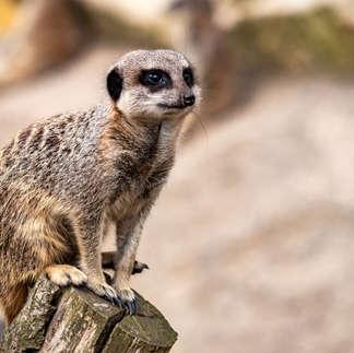 Folly Farm: Meerkat