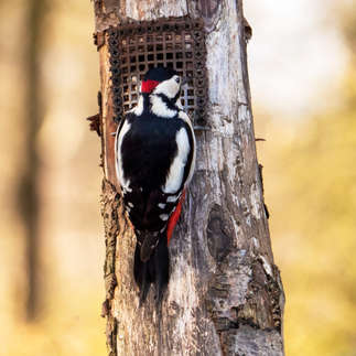 Alcester: Greater spotted woodpecker