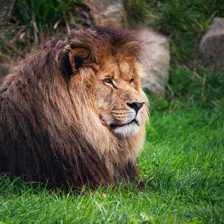 Folly Farm: Male Lion