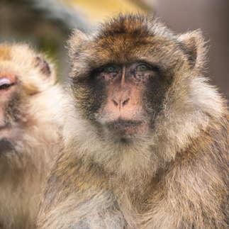 Folly Farm: Barbary Macaque