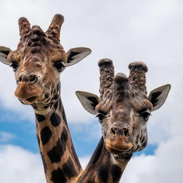 Folly Farm: Giraffes