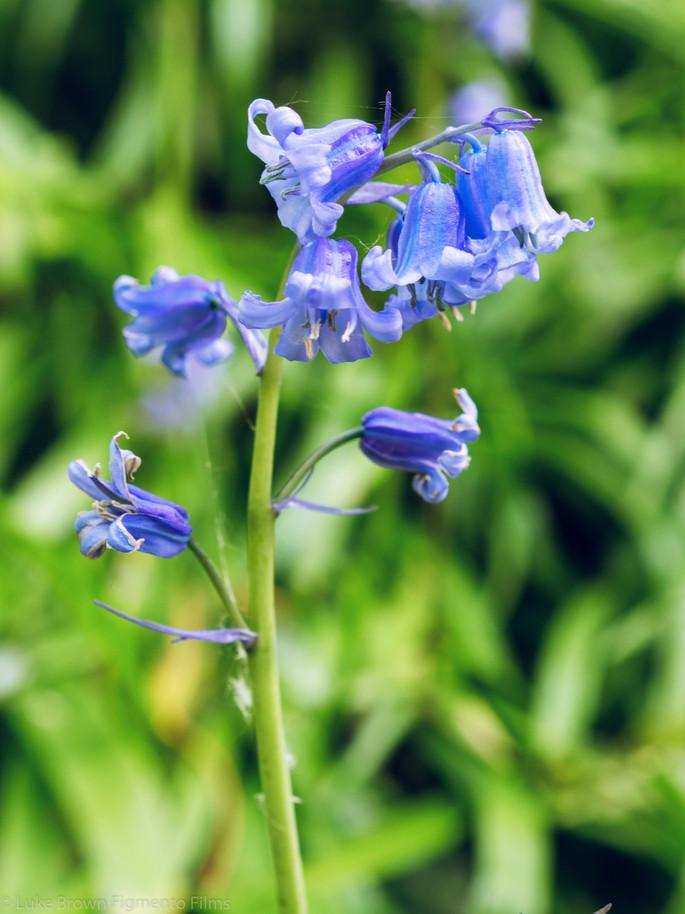 Blue Bells-7.jpg