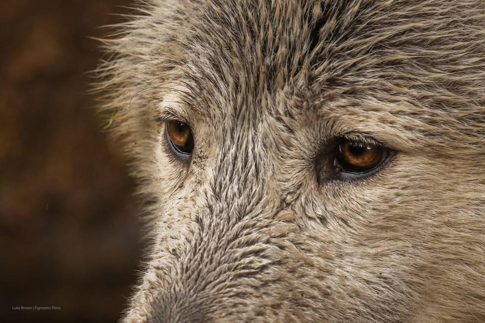 02 Bosch: Grey Wolf | Wolf Watch UK