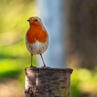 Alcester: Robin Redbreast