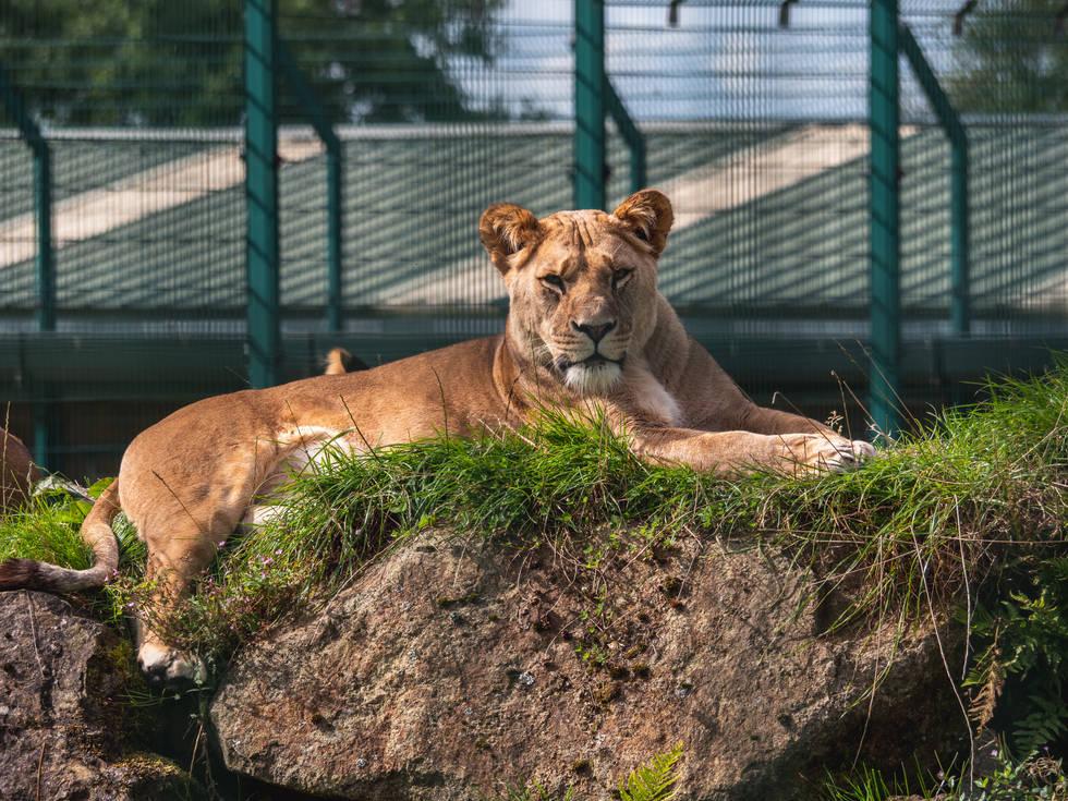 Folly Farm: Lioness