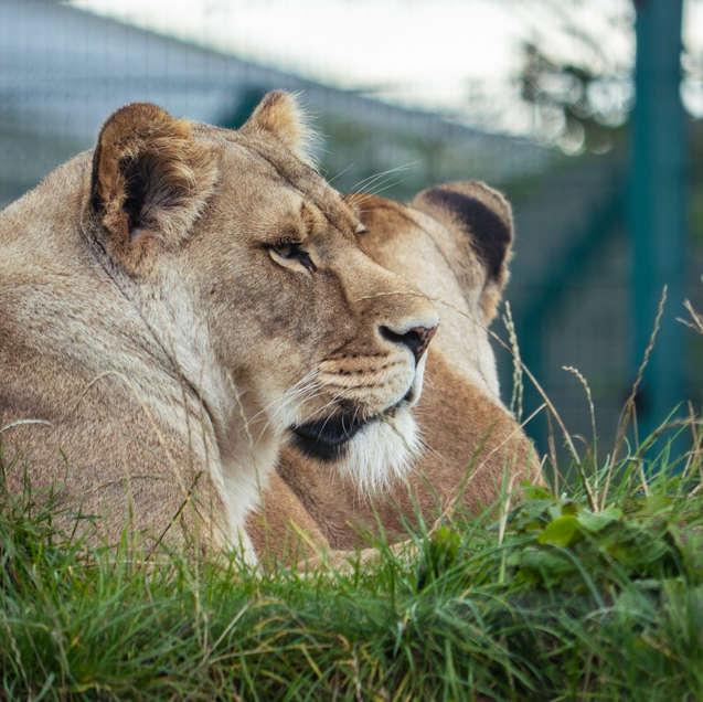 Folly Farm: Lion Pack