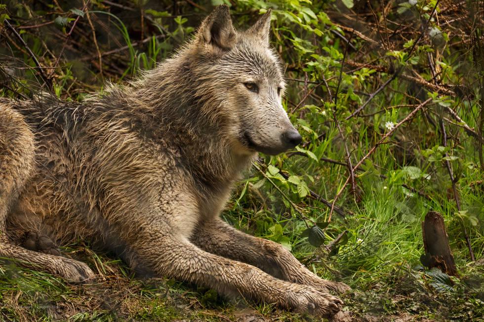 01 Bosch: Grey Wolf | Wolf Watch UK