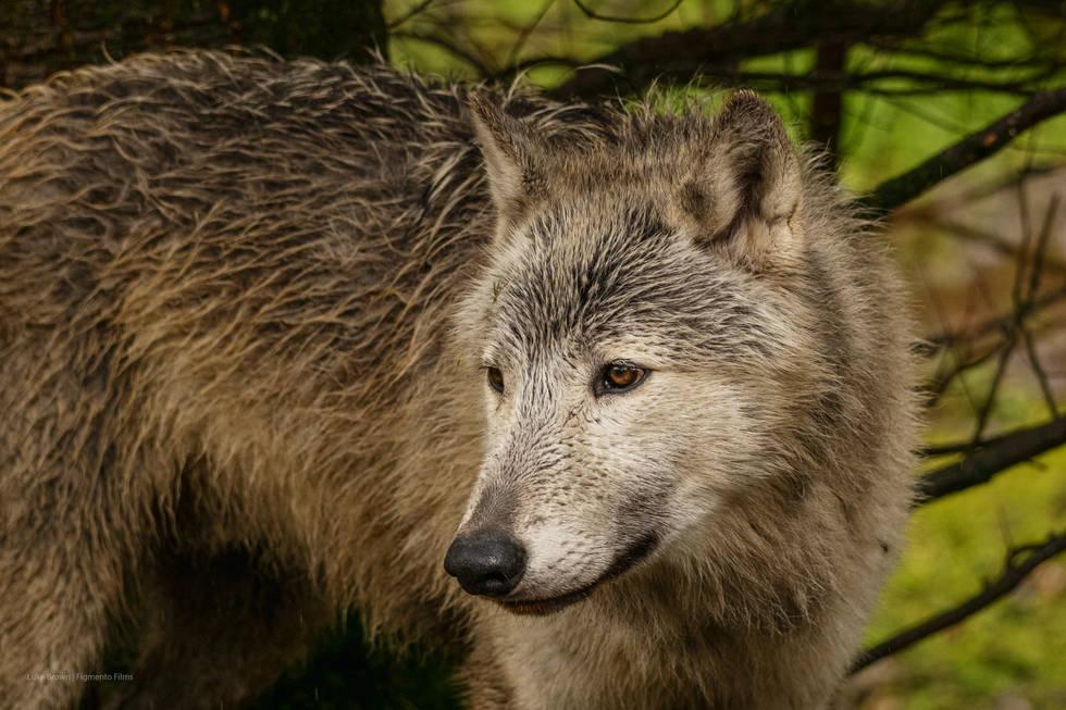 03 Bosch: Grey Wolf | Wolf Watch UK