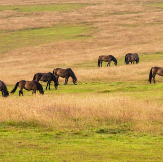 Exmoor: Wild Horses
