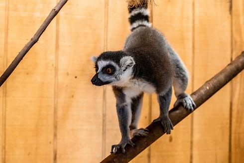 Lewis_Adventure_Farm_Animals_Lemur_edite