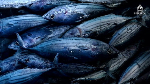 interpol-fisheries_youtube-english.mp4