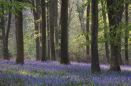 Bluebells in North Dorset (2).JPG