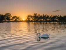 Hatchet Swan