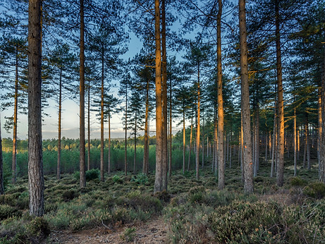 Wareham Pines 1