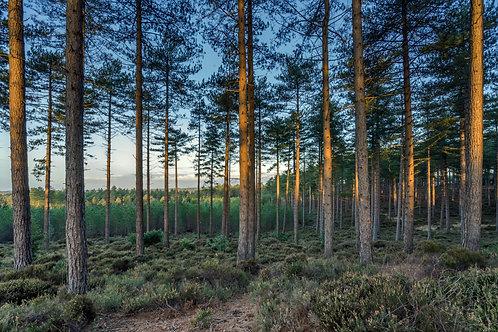 Wareham Pines