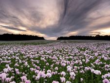 Pink Poppy Sky