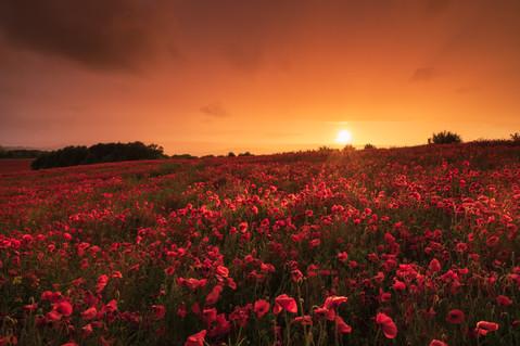 Poppies on Mars