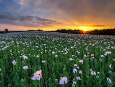 Sunset over the Opium Poppies